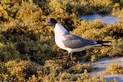 Seagul in the seaweed on the beach Stock Images