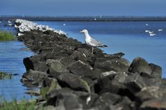 Seagul. A seagul sitting on Stones at northern sea Royalty Free Stock Photography