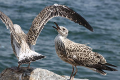 Seagul skrzydła Zdjęcie Stock