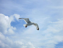 Seagul in the sky with clouds Royalty Free Stock Image