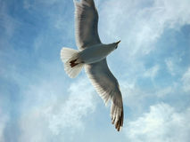 Seagul in the sky with clouds Stock Photos