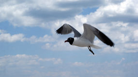 Seagul in sky. A seagull flying in the air with clouds behind it stock photography