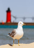 Seagul with South Haven Lighthouse Royalty Free Stock Photo