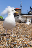 Seagul at the Stade Stock Image