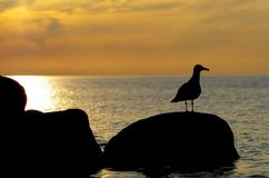 Seagul and sunset. Sunset at the sea with seagull standing on a stone Royalty Free Stock Photography