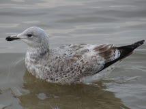 Seagul sur l'eau dans Sopot Photo stock
