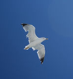 Seagul Vogel in der Fliege Stockbild