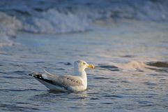 Seagul in the baltic sea royalty free stock image