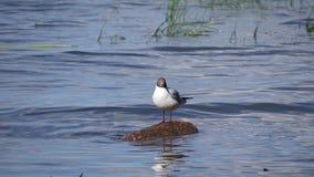 Seagull στο νησί απόθεμα βίντεο