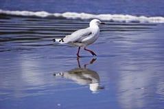 Seagull της Νέας Ζηλανδίας στην ακτή στοκ φωτογραφίες