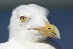Seagull πορτρέτο - φωτεινά, κίτρινα μάτια στοκ εικόνες