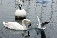 seagull łabędź Zdjęcia Royalty Free