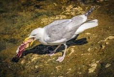 Seagull łasowanie obrazy stock