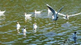 Seagull έκταση κατά την πτήση απόθεμα βίντεο