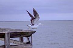 Seagull έτοιμο για την απογείωση Στοκ φωτογραφία με δικαίωμα ελεύθερης χρήσης