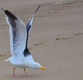 Seagull έτοιμο να πετάξει Στοκ Εικόνες
