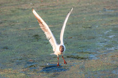 Seagull έλος πουλιών Στοκ Εικόνα