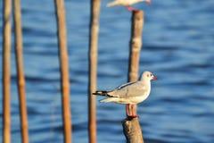 Seagull ή γλάρος (οικογένεια: Laridae) Στοκ φωτογραφία με δικαίωμα ελεύθερης χρήσης