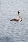 seagull αέρα Στοκ Φωτογραφία