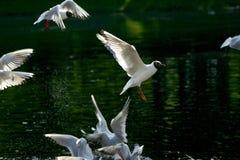 seagull αέρα στοκ εικόνα