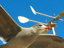 Seagull ανοικτή ανύψωση φτερών μπλε ουρανού μυγών ενάντια καιρικό vane μπλε ουρανού στοκ φωτογραφία με δικαίωμα ελεύθερης χρήσης