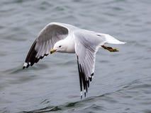 Seagull ανωτέρω - νερό με τα φτερά ανοικτά Στοκ Εικόνα