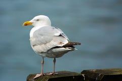 seagull αποβαθρών Στοκ εικόνα με δικαίωμα ελεύθερης χρήσης
