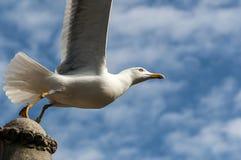 Seagull απογείωση στοκ εικόνες με δικαίωμα ελεύθερης χρήσης