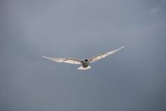 Seagull απογείωση Στοκ Εικόνες