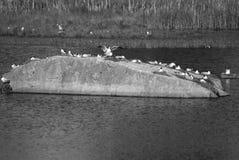 Seagull αποικία στον απότομο βράχο στοκ φωτογραφίες με δικαίωμα ελεύθερης χρήσης