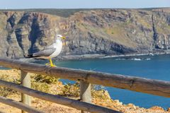 Seagull, απότομοι βράχοι και ωκεανός σε Arrifana Στοκ φωτογραφία με δικαίωμα ελεύθερης χρήσης