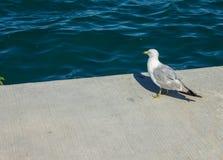 Seagull από την ακτή στοκ φωτογραφία με δικαίωμα ελεύθερης χρήσης