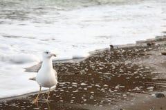 seagull αργυροειδές Στοκ φωτογραφία με δικαίωμα ελεύθερης χρήσης