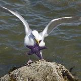seagull αστερίας Στοκ Φωτογραφίες