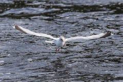 Seagull αλιείας Στοκ εικόνες με δικαίωμα ελεύθερης χρήσης