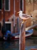 seagull Βενετία Στοκ φωτογραφίες με δικαίωμα ελεύθερης χρήσης