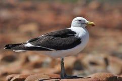seagull βράχου Στοκ εικόνα με δικαίωμα ελεύθερης χρήσης