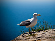 seagull βράχου Στοκ φωτογραφία με δικαίωμα ελεύθερης χρήσης