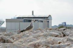 seagull βράχων στοκ φωτογραφία με δικαίωμα ελεύθερης χρήσης