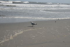 Seagull βλέμματα στον ωκεανό Στοκ φωτογραφία με δικαίωμα ελεύθερης χρήσης