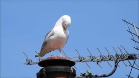 Seagull γλάρων ερωδιών preening και καθαρίζοντας φτερά στη στέγη απόθεμα βίντεο