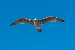 Seagull γρίφοι πέρα από έναν άνθρωπο Στοκ Φωτογραφίες