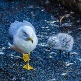 Seagull εκτός από τους καταρράκτες του Νιαγάρα Στοκ Φωτογραφίες