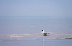 Seagull ενάντια στον μπλε θαλάσσιο ορίζοντα Στοκ Φωτογραφίες