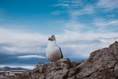 Seagull εν πλω Στοκ φωτογραφίες με δικαίωμα ελεύθερης χρήσης
