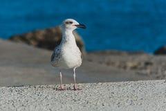 Seagull εν πλω Στοκ Φωτογραφίες