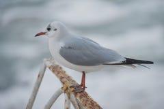 Seagull εν πλω Στοκ Εικόνα
