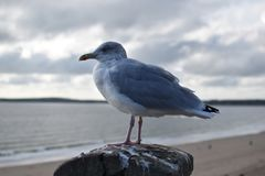 Seagull εξετάζει έξω τη θάλασσα Στοκ Εικόνες