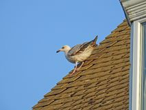 Seagull εξισορρόπηση στη στέγη σπιτιών Στοκ Εικόνες