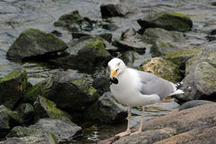 Seagull επίασε κάτι Στοκ Φωτογραφία